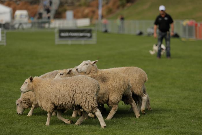 sheep-dog-trials-2