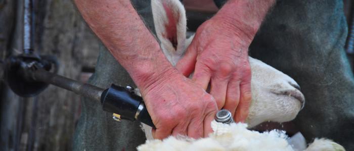 sheep shearing new zealand rural games