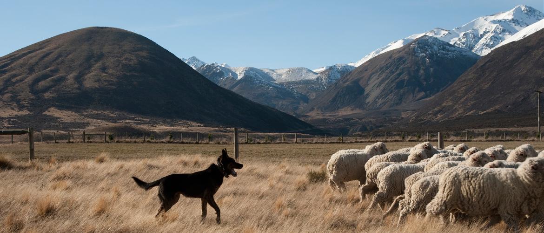 sheep dog new zealand rural games