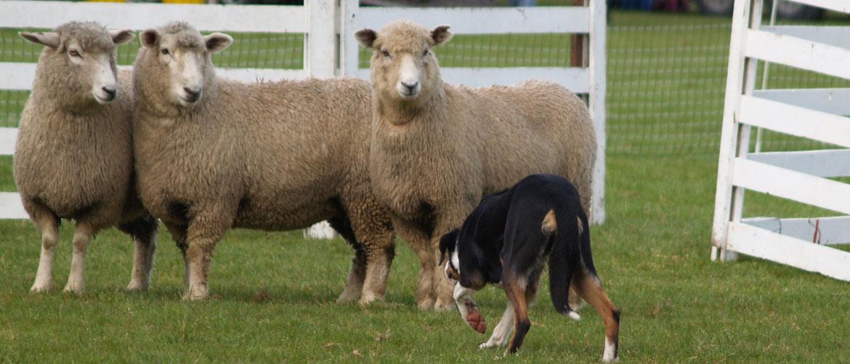 sheep dog trials