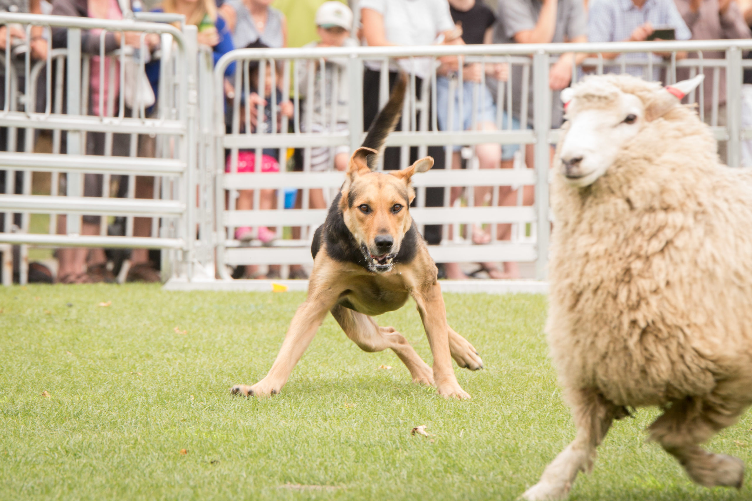 Sheep dog trial renamed to remember the late Sam Strahan